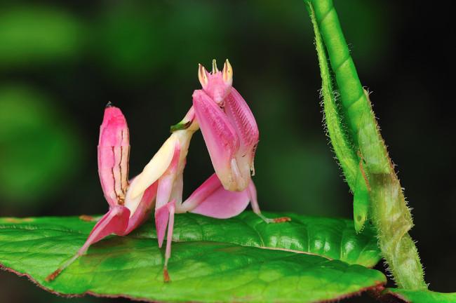 orchid-praying-mantis-1-650x432