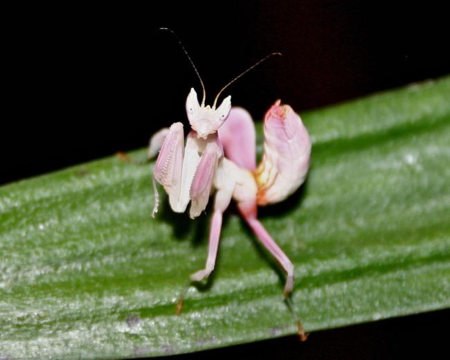 orchid-praying-mantis-2-650x520