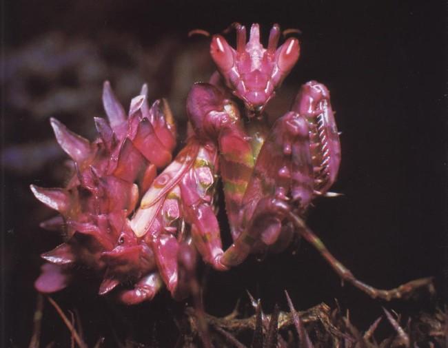 orchid-praying-mantis-4-650x505